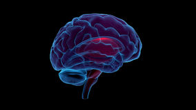 Rotation de cerveau (canal alpha droit et fait une boucle) illustration libre de droits