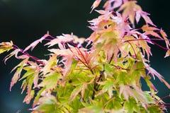 Rotation de feuilles d'érable Photo libre de droits