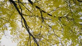 Rotation härlig gulna lövverk på ett träd i skogen på bakgrunden av Autumn Sky arkivfilmer
