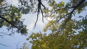 Rotation sikt av Autumn Sky Through de gula lönnlöven arkivfilmer