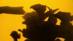 Rotation verte de flotteur de feuilles de thé dans la théière en verre banque de vidéos