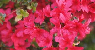 Rotazione sopra il ramo vivo rosso del rododendro archivi video