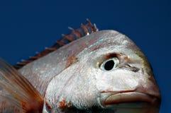 Rotbarsch-Gesicht Stockbild