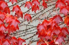 Rotblätter über einer Wand Stockbild