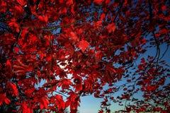 Rotblätter Lizenzfreie Stockbilder