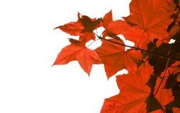Rotblätter Stockbild