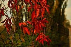 Rotblätter auf dem Zaun Lizenzfreie Stockfotos