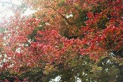 Rotblätter auf einem Baum Lizenzfreies Stockbild