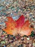 Rotblätter im Herbstwald Lizenzfreies Stockfoto