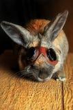 Rotbraune Farbe des Kaninchens Stockbilder