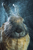 Rotbraune Farbe des Kaninchens Stockfoto