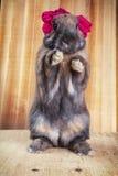 Rotbraune Farbe des Kaninchens Lizenzfreies Stockfoto