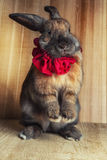 Rotbraune Farbe des Kaninchens Stockfotos