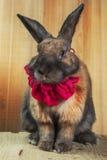 Rotbraune Farbe des Kaninchens Lizenzfreie Stockfotografie