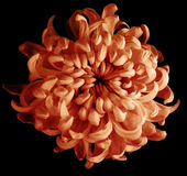 Rotbraune Herbstblume der Chrysantheme lokalisiert mit Beschneidungspfad auf einem schwarzen Hintergrund Schöne Chrysantheme dunk Stockfotos