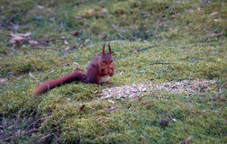 Rotbraunes Streifenhörnchen, das Nüsse isst Stockfotos
