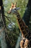Feeding Rothschild`s Giraffe at Chester Zoo royalty free stock photography