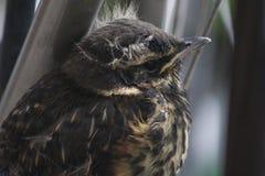 Rotdrosselgewordener vogel Stockbilder
