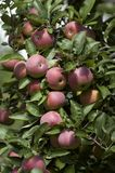 Rote Äpfel 2 Stockfoto
