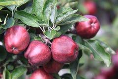 Rote Äpfel auf Baum Stockbild