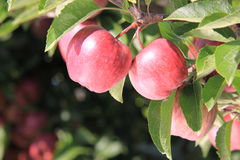 Rote Äpfel auf Baum Stockfoto