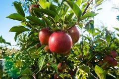 Rote Äpfel auf Baumast Lizenzfreies Stockfoto