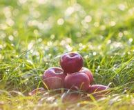 Rote Äpfel auf dem Gras unter Apfelbaum Herbsthintergrund - gefallen dem grünen Boden im Garten Stockbild