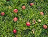 Rote Äpfel auf dem Gras unter Apfelbaum Herbsthintergrund - gefallen dem grünen Boden im Garten Stockfotografie