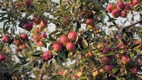 Rote Äpfel auf den Niederlassungen des Apfelbaums stock video footage