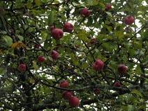Rote Äpfel auf einem Apfelbaum stockfoto