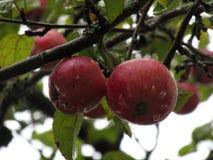 Rote Äpfel auf einem Apfelbaum lizenzfreie stockfotografie