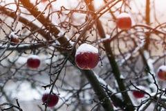 Rote Äpfel auf einem Applebaum bedeckt mit Schnee Lizenzfreies Stockfoto