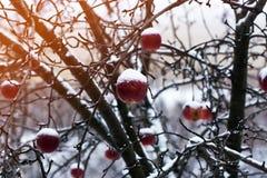 Rote Äpfel auf einem Applebaum bedeckt mit Schnee Stockfoto