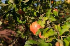 Rote Äpfel auf einem Baum lizenzfreie stockfotografie