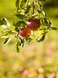 Rote Äpfel auf einem Baum lizenzfreie stockfotos