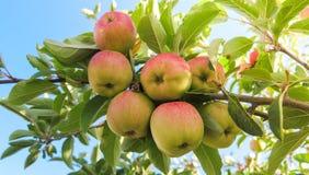 Rote Äpfel auf einem Baum stockfotografie