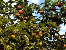 Rote Äpfel auf einem Baum in der Stadt parken stockbild