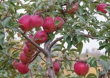Rote Äpfel auf einem Zweig Lizenzfreies Stockfoto