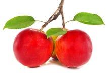 Rote Äpfel auf einem Zweig Stockfotografie