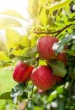 Rote Äpfel auf einer Niederlassung lizenzfreie stockbilder