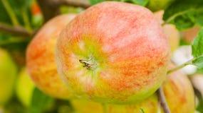 Rote Äpfel auf einer Niederlassung bereit geerntet zu werden Stockfotografie