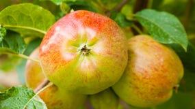 Rote Äpfel auf einer Niederlassung bereit geerntet zu werden Lizenzfreie Stockfotografie