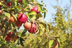 Rote Äpfel auf einer Niederlassung in einem Herbst arbeiten im Garten Stockbilder