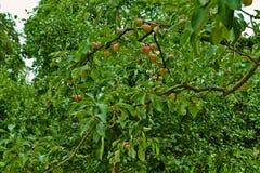Rote Äpfel auf einer Niederlassung eines Apfelbaums Die Niederlande, Juli stockfoto