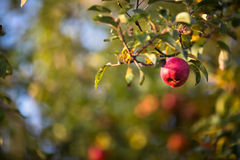 Rote Äpfel, die am Baum hängen Lizenzfreies Stockbild