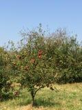 Rote Äpfel in einem appletree mit klarem blauem Himmel lizenzfreie stockfotos