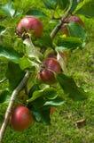 Rote Äpfel in einem Baum Stockfotografie