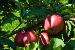 Rote Äpfel Elequent auf der Niederlassung Stockfoto