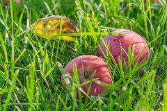 Rote Äpfel im Gras Lizenzfreie Stockfotografie