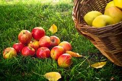 Rote Äpfel im Gras Stockfoto